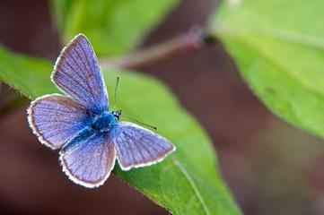 Mazarine Blue (Polyommatus semiargus)