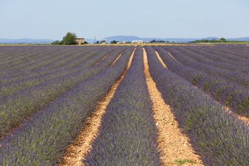 Lavender Field in Valensole, Provence