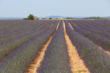 Lavender Field in Valensole, Provence