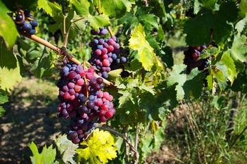 grappoli uva in campagna
