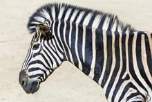 Zebra-Kopfs