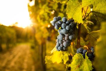 Grepe in the vineyard.