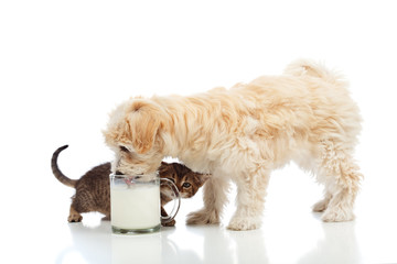 Small dog and kitten craving the same milk