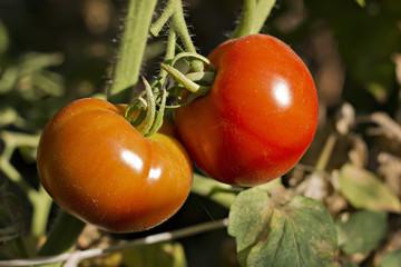 Dos tomates rojos en una rama