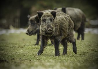Three wild boars walking