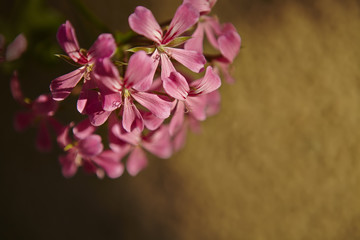 Pink Geranium Flowers (Pelargonium Peltatum)