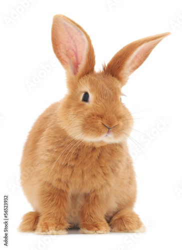 canvas print picture Rabbit