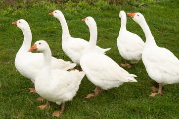 6 ducks