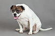 American Bulldog  portrait on a grey background