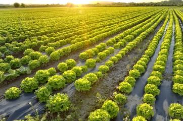 The garden of lettuce