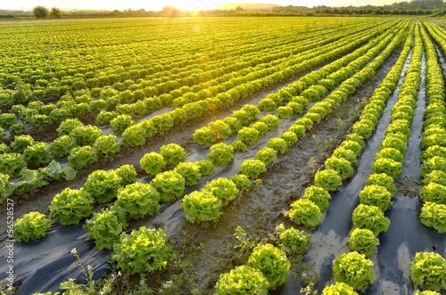 Leinwandbild Motiv The garden of lettuce