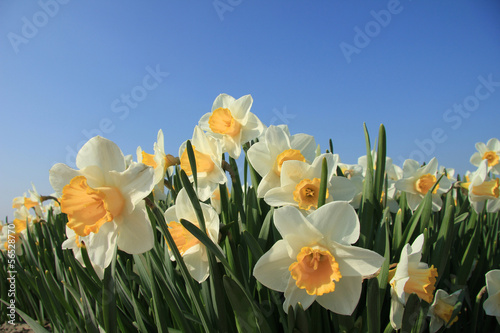 Fotobehang Narcis White and yellow daffodils