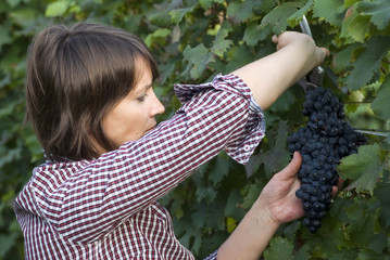 Woman picking grapes with shear