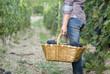 Woman standing in vine rows with basket of grapes