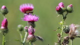 thistle flower closup