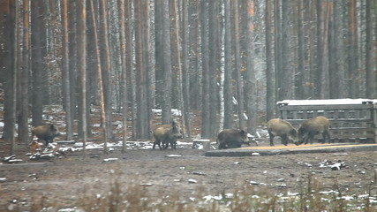 wild boars eat food.