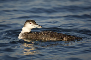 Great northern diver, Gavia immer