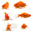 goldfish long tail