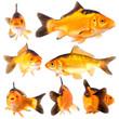 goldfishg