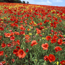 Coquelicots rouges indésirables overgrowing agriculteurs colza culture