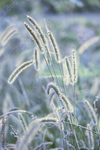 Wild grass - 56536579