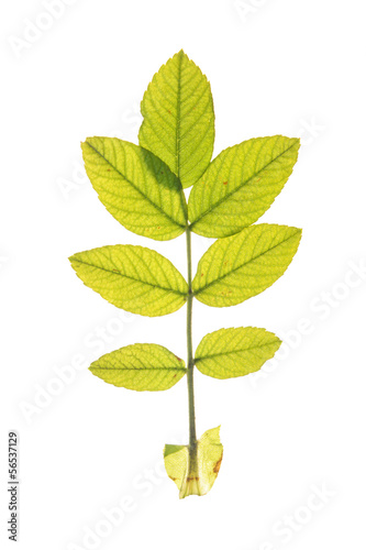 Leaf of Dog rose isolated on white