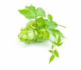 Branch of hop is with cones and sheets (Humulus lupulus)