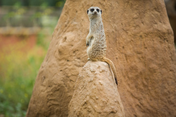 Alert meerkat on the lookout