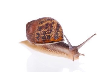 Garden snail isolated on a white background