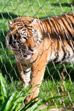 Young Siberian Tiger caged behind a wire fence
