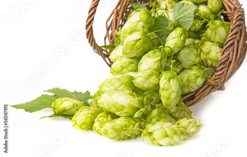 green hop cones in a basket