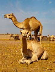Camel Market in El Shalaten, Southern Egypt