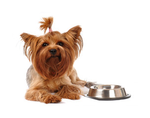 Hungry yorkshire terrier