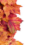 Dried maple leaves border isolated on white