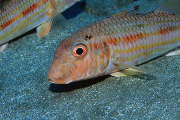 Streifen-Meerbarbe (Mullus surmuletus)