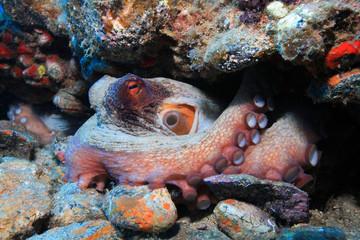 Krake (Octopus vulgaris)