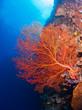 Giant gorgonian coral