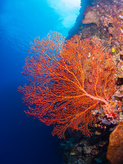 Giant gorgonian coral