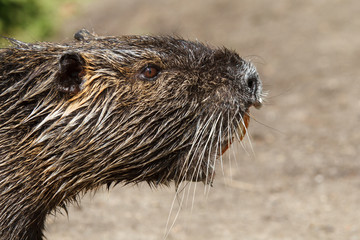 Nutria wildlife