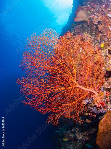 Fotobehang Koraalriffen Giant gorgonian coral