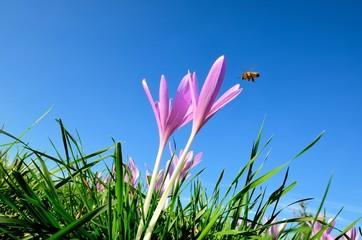 Herbstzeitlose mit Biene im Flug