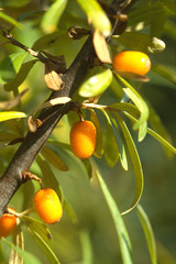 Branch of sea-buckthorn with ripe orange berries close up