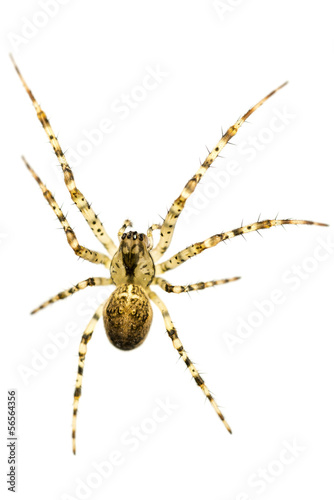 Macro shot of cross spider
