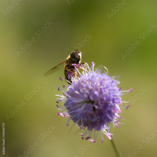 hoverfly on a purple flower