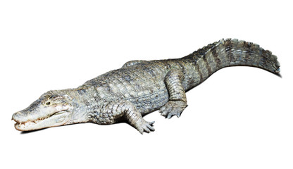 spectacled caiman on white