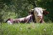 Vache Montbéliarde couché dans l'herbe