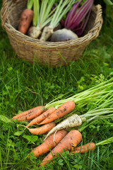 Root vegetables spread on grass an in a basket
