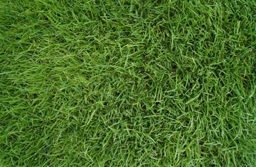 Rasen-Gras
