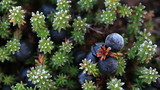 Alpine dwarf shrub Empetrum nigrum - black crowberry