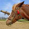 Head of a horse in a harness against a spring field